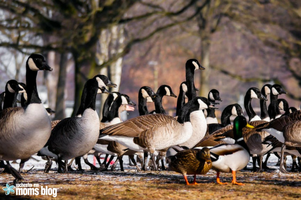 beloved geese, geese, goose, goose poop, local, love hate, minnesota, olmsted county, park, rochester, Silver Lake